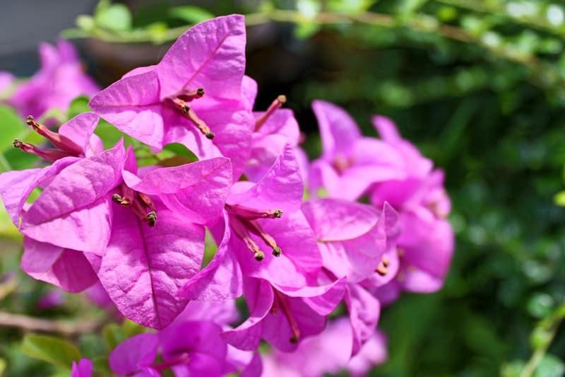 Bougainvillea plants for sunny balcony garden