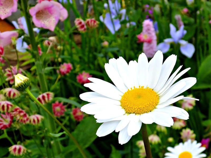 Daisies plants for sunny balcony garden