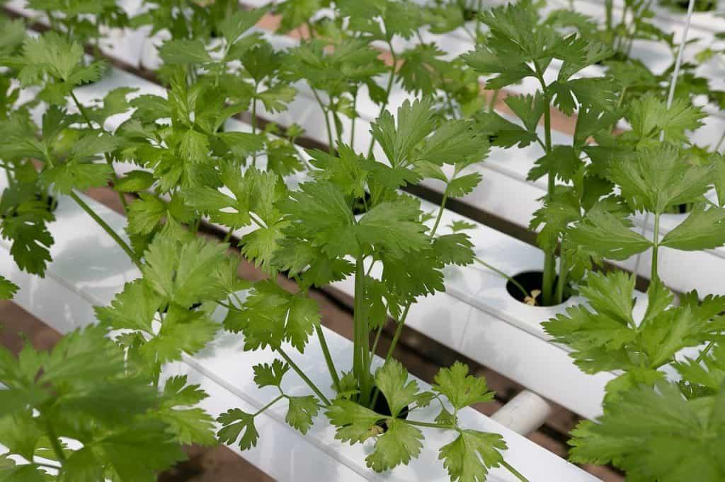 Herbs that can grow easily in Balcony Garden coriander