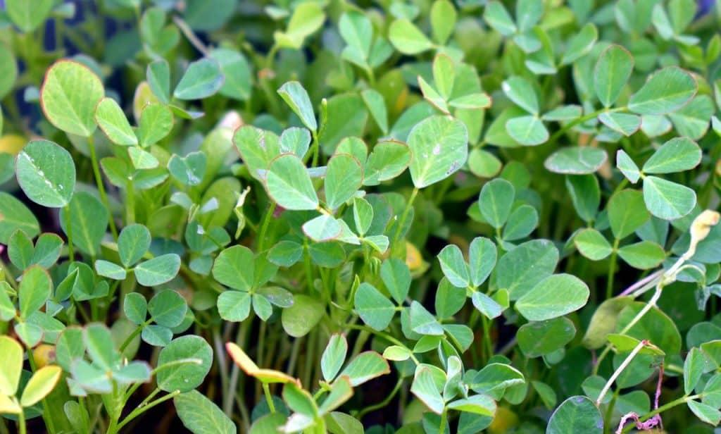 Herbs that can grow easily in your Balcony Garden fenugreek