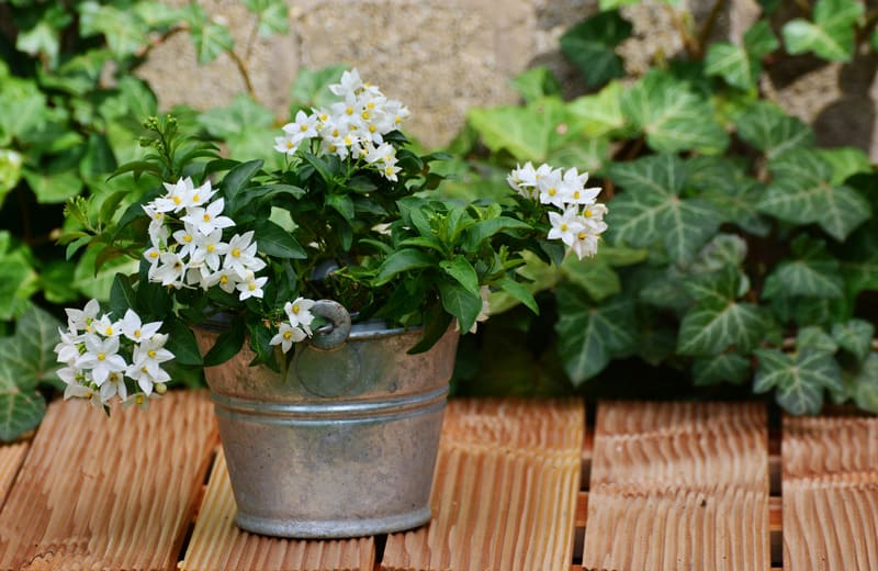 Jasmine Plant for sunny balcony garden