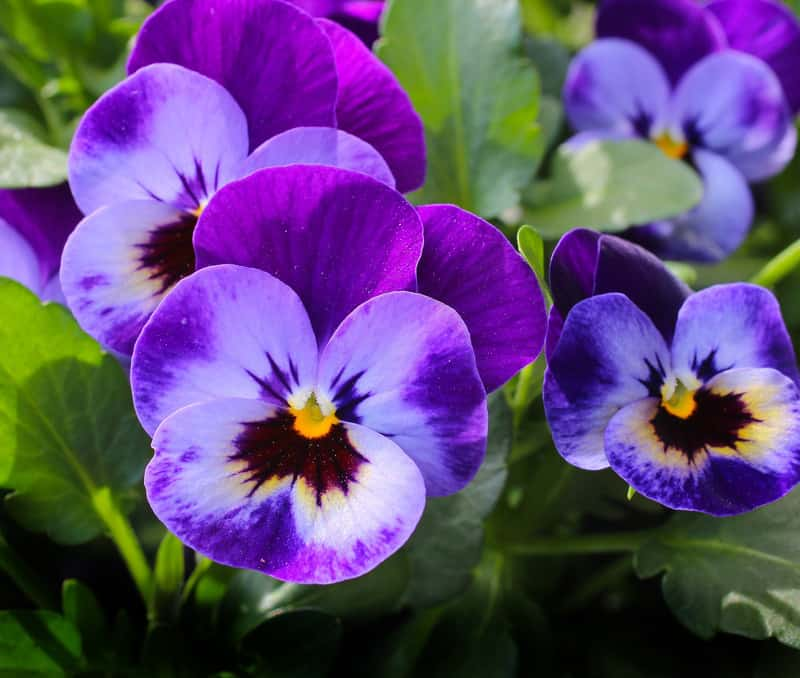 Pansies plants for sunny balcony garden