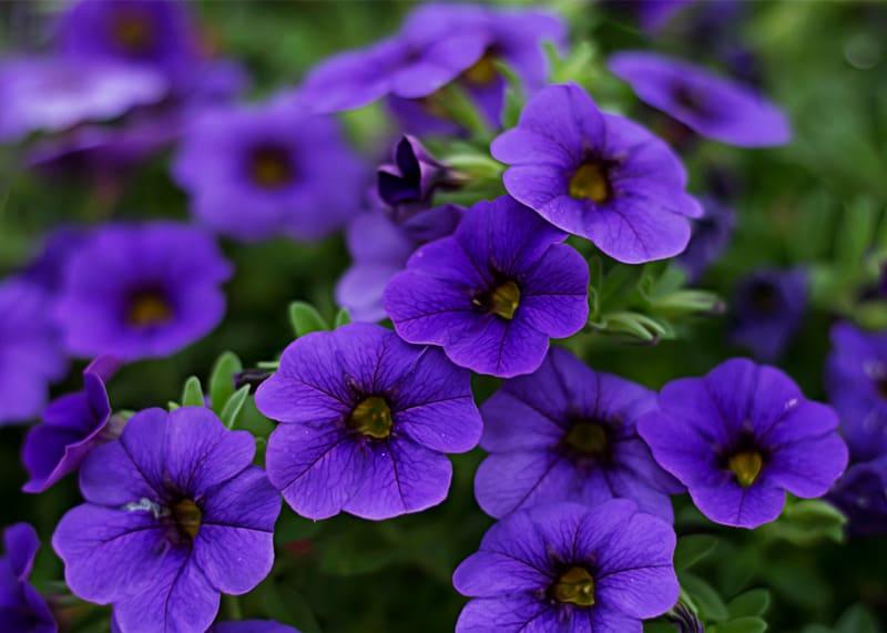 Petunia plants for sunny balcony garden
