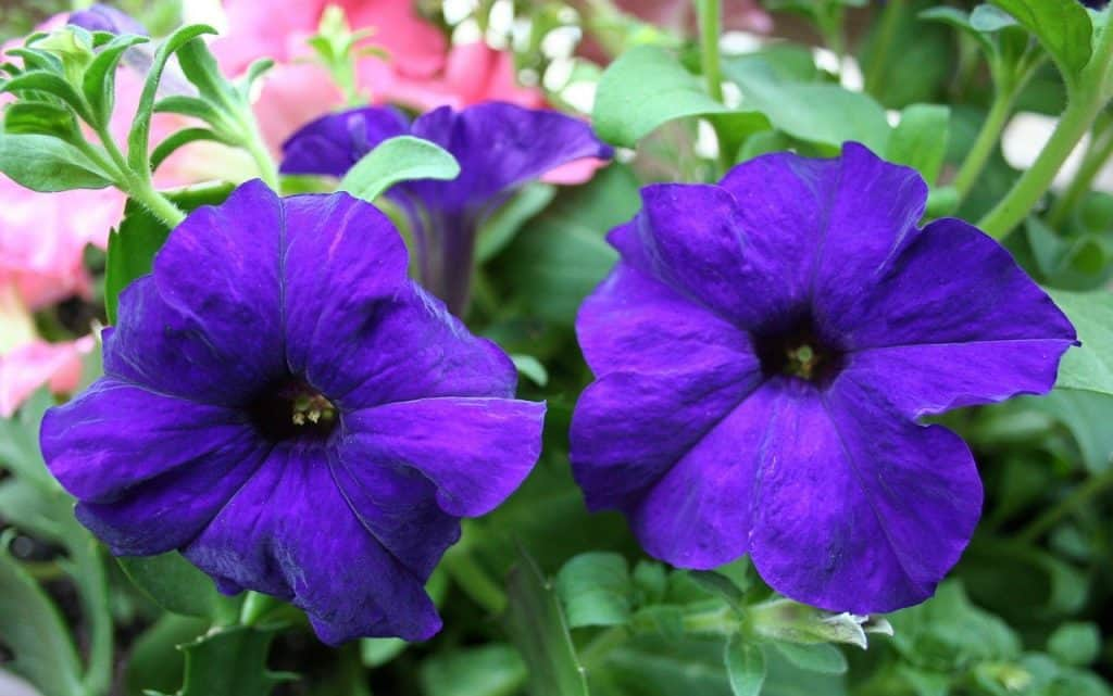 What plants are good for Balcony Garden Petunia