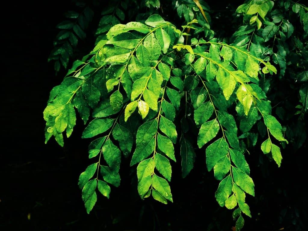 best Balcony Garden herbs Curry leaves