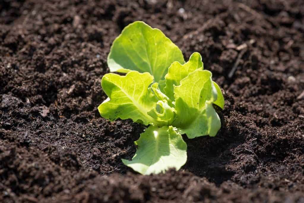 best salad greens to grow Lettuce