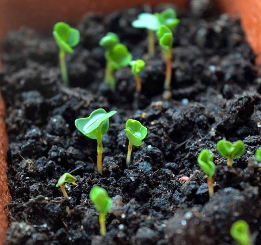 growing a salad garden arugula