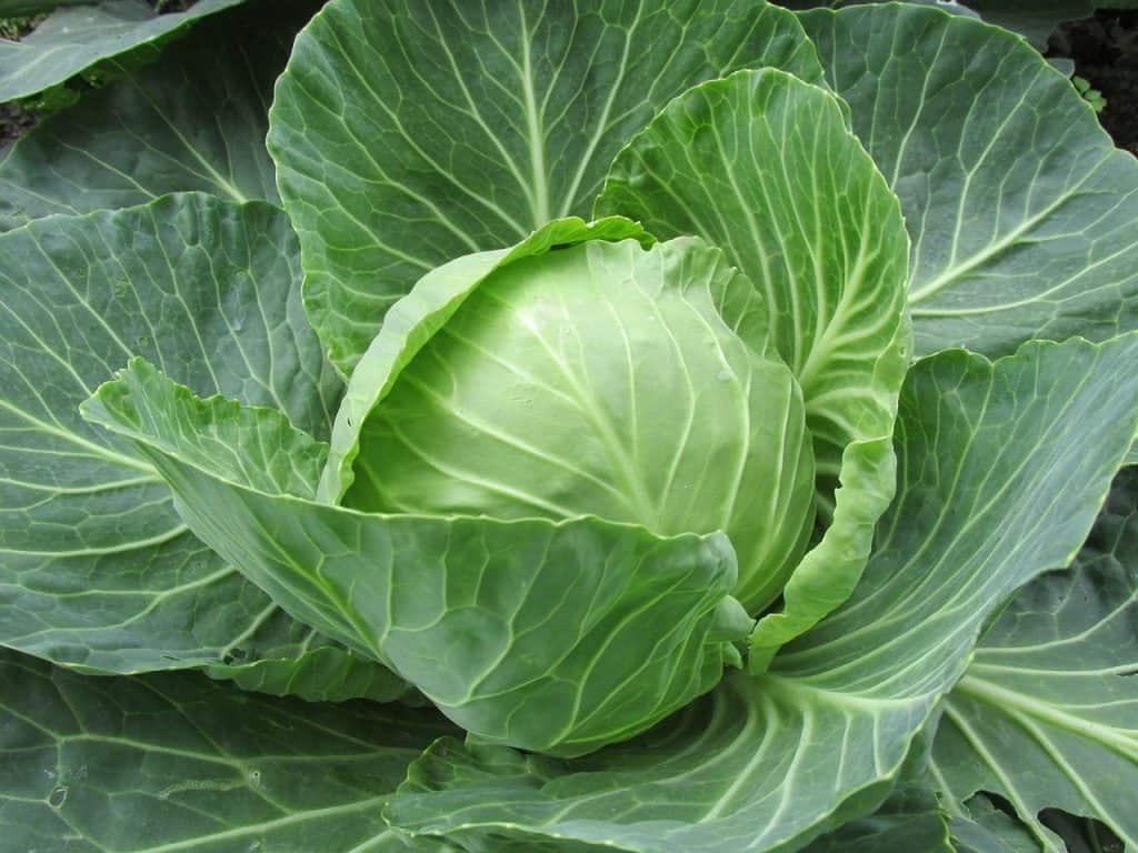 growing salad greens in pots