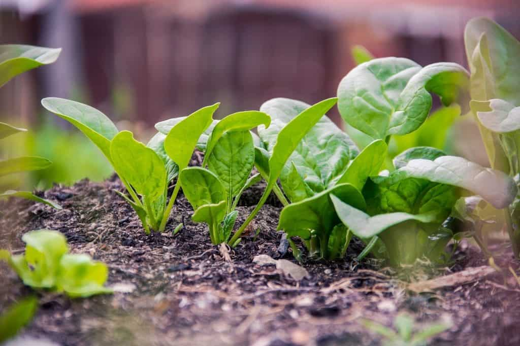 which vegetables can be grown at home