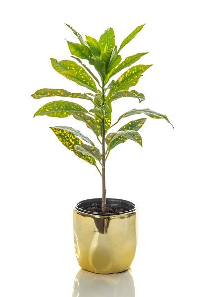 Are Croton Plants Poisonous
