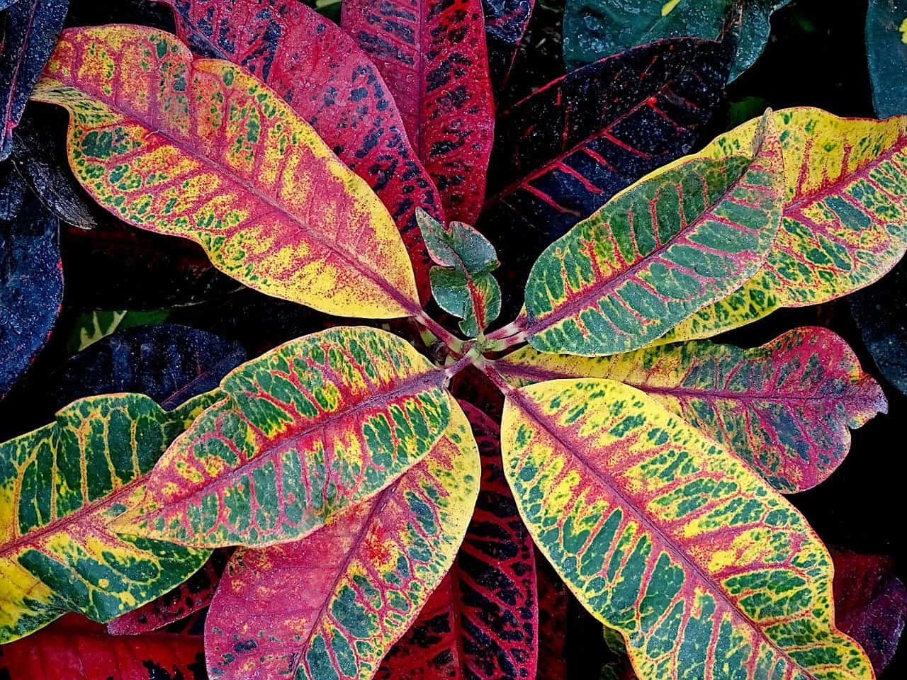 why are my croton leaves turning yellow