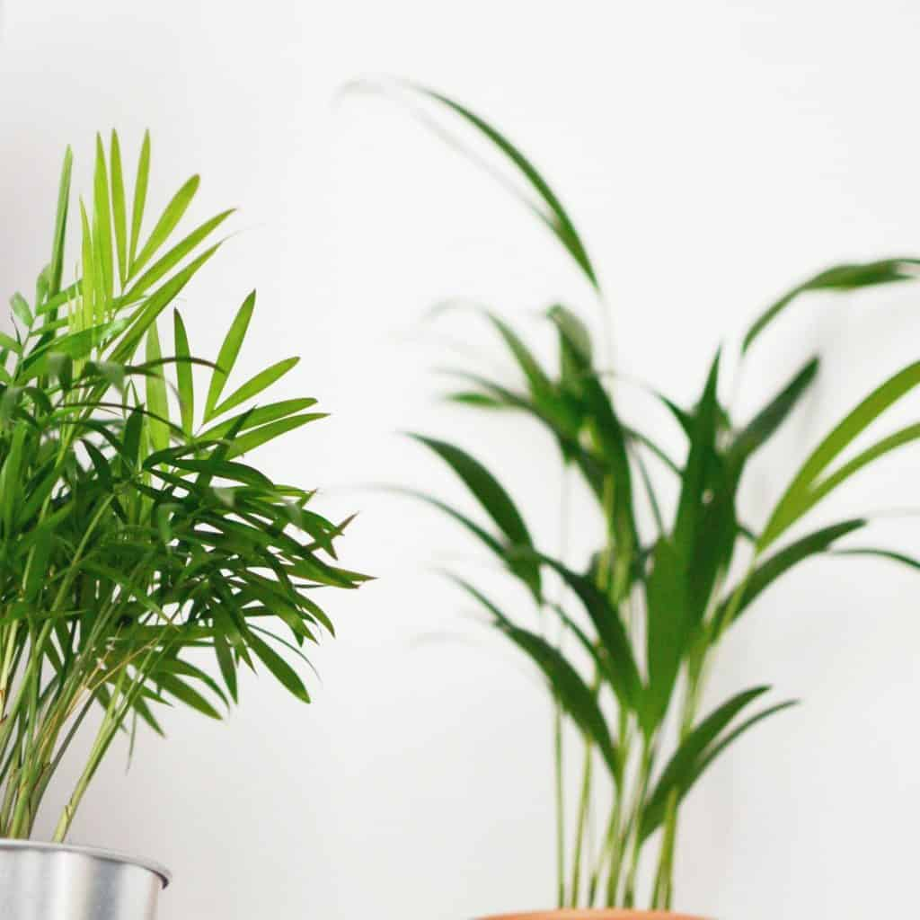 areca palm growth tips