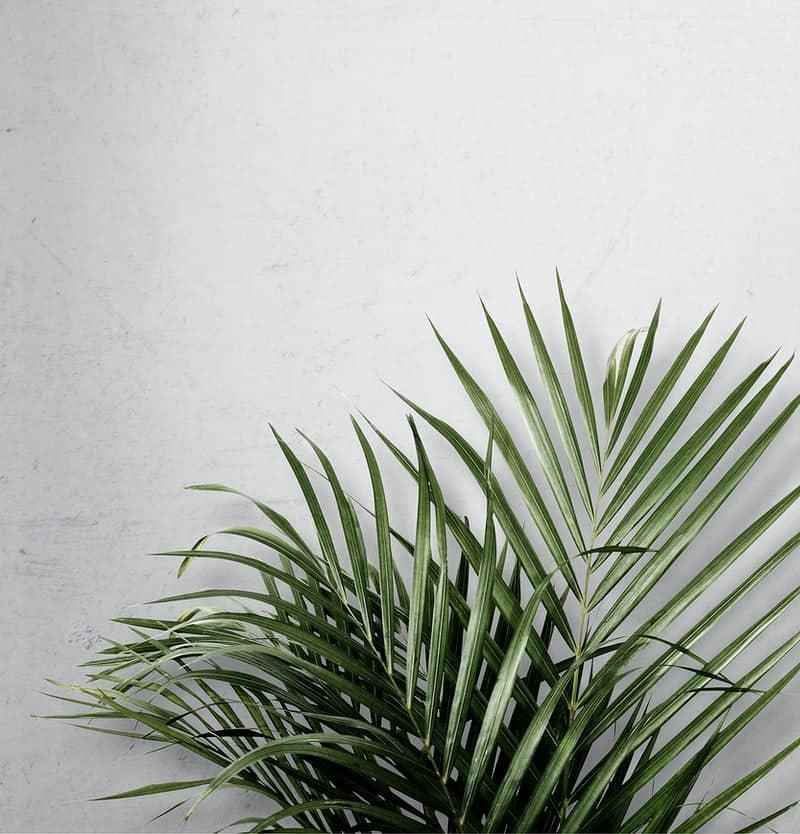 areca palm planting tips