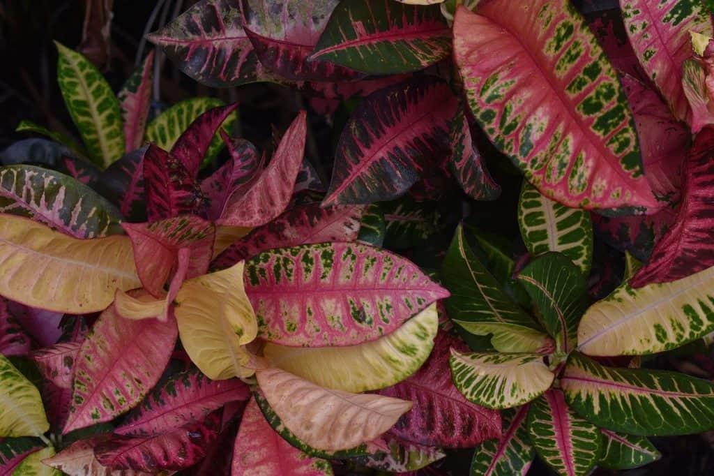 Croton Plants for Balcony Garden