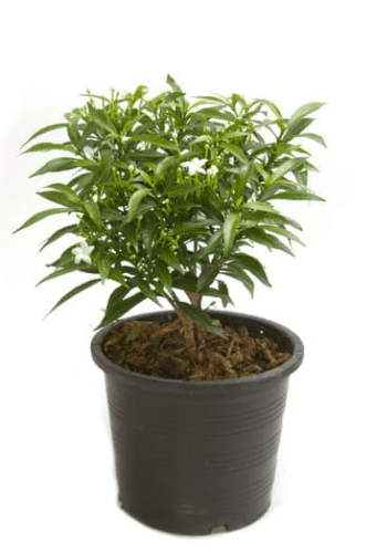 How To Grow Jasmine Plant