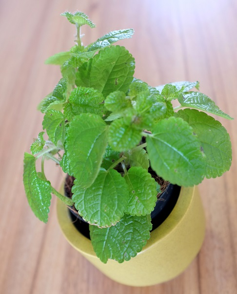 how to grow mint from cuttings in soil