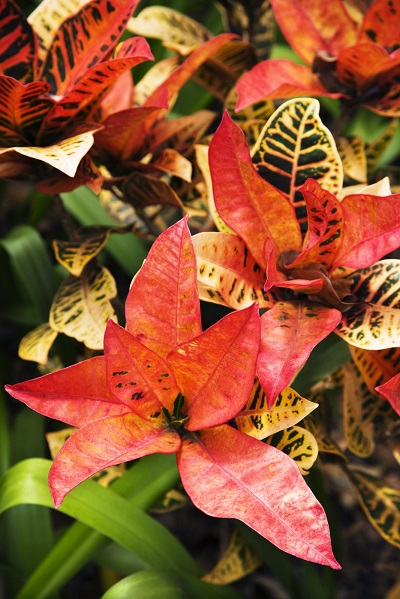 How do you keep Croton leaves colourful
