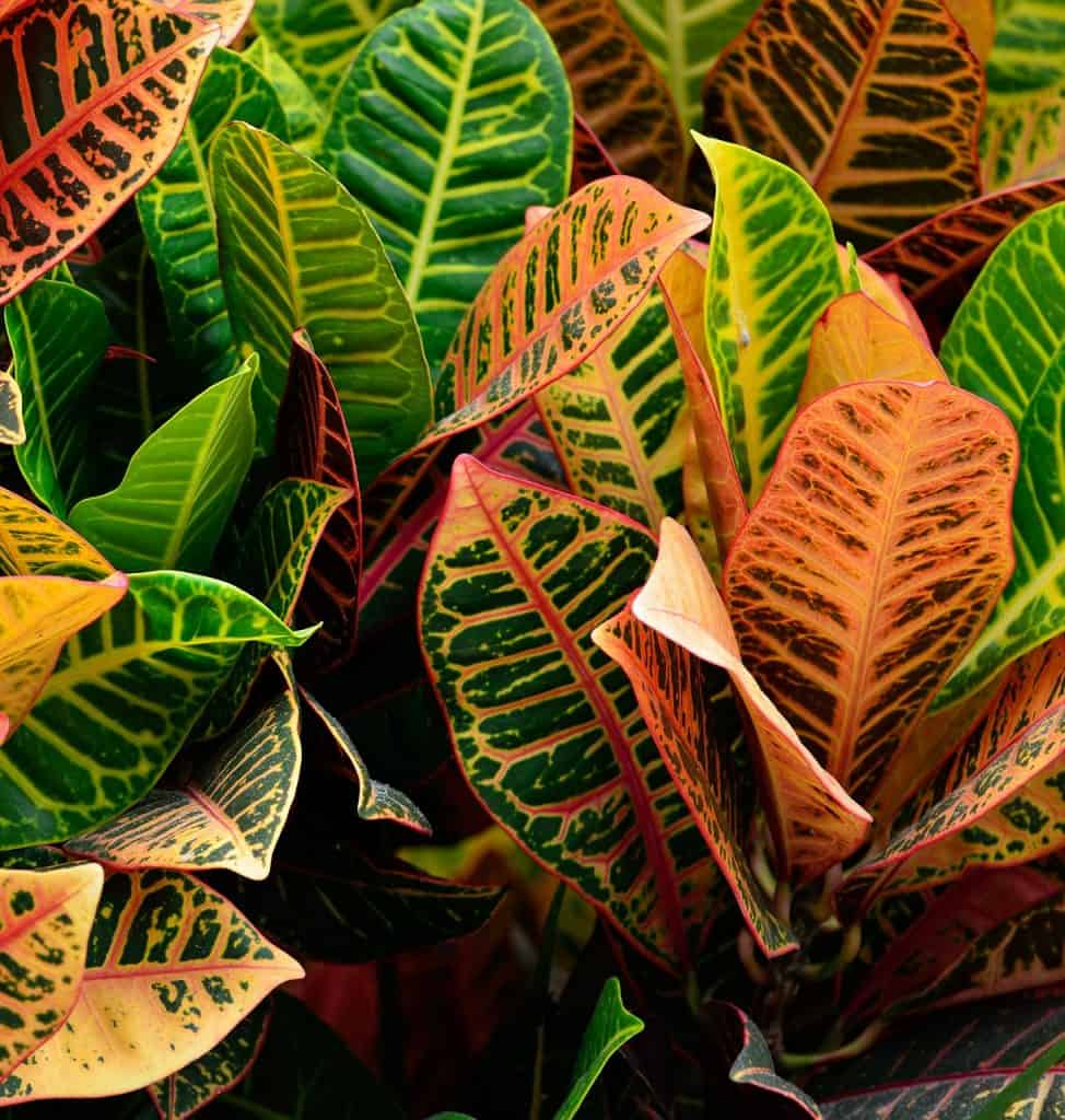 How to save a dying croton plant