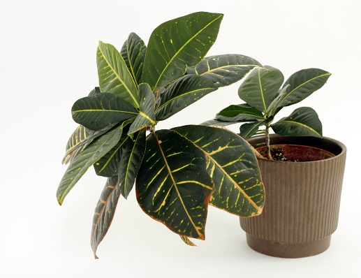 Why is my Croton turning green