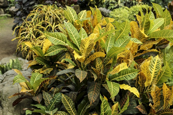 Why is the colour of my Croton diminishing