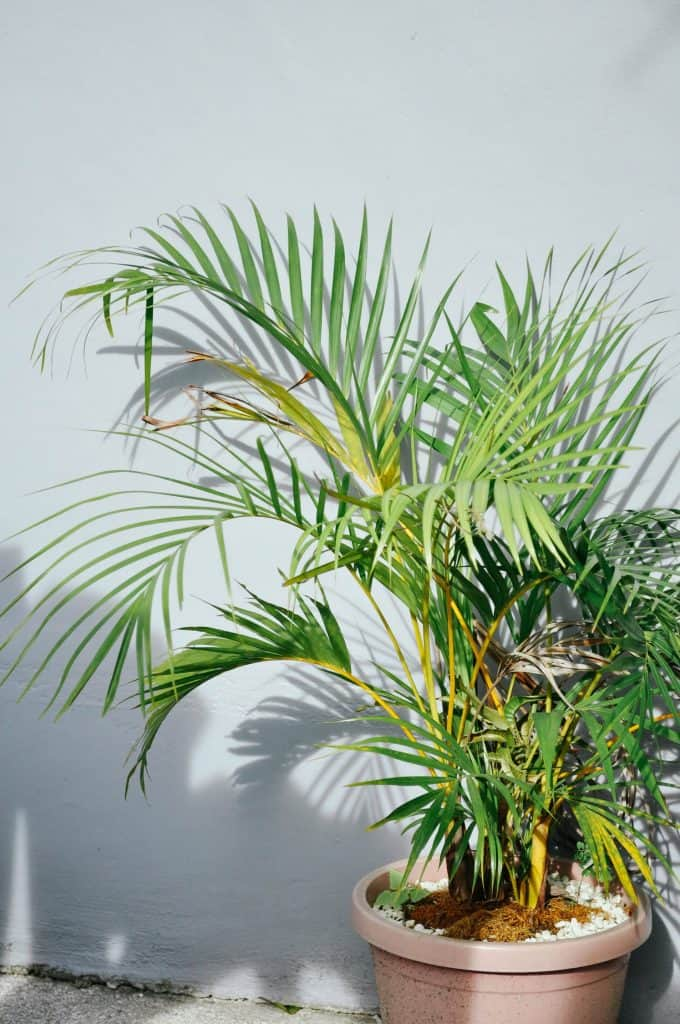 how to grow areca palm faster