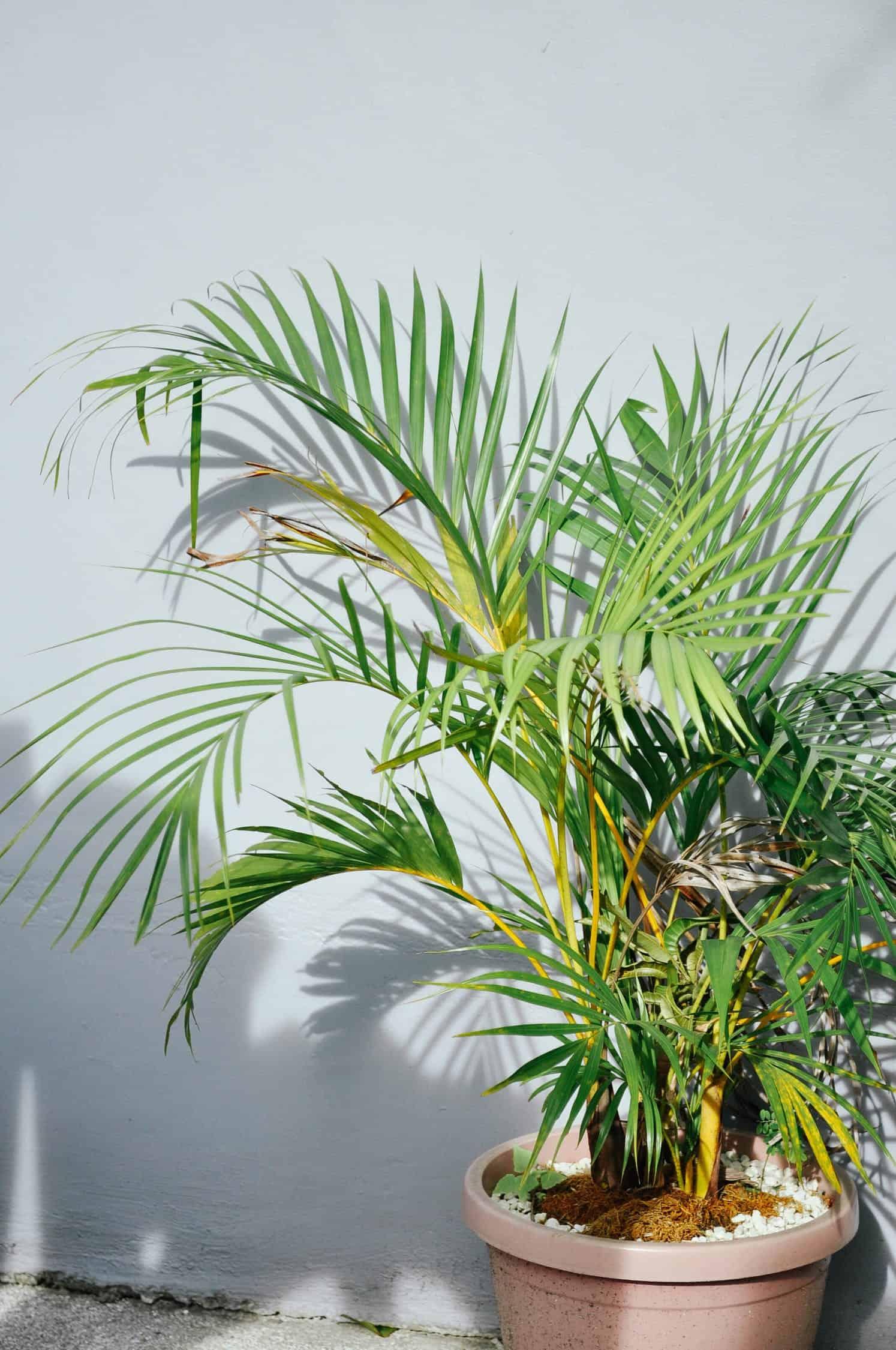 grow and care areca palm balcony garden