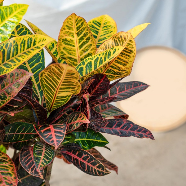 How to grow croton plant from cuttings
