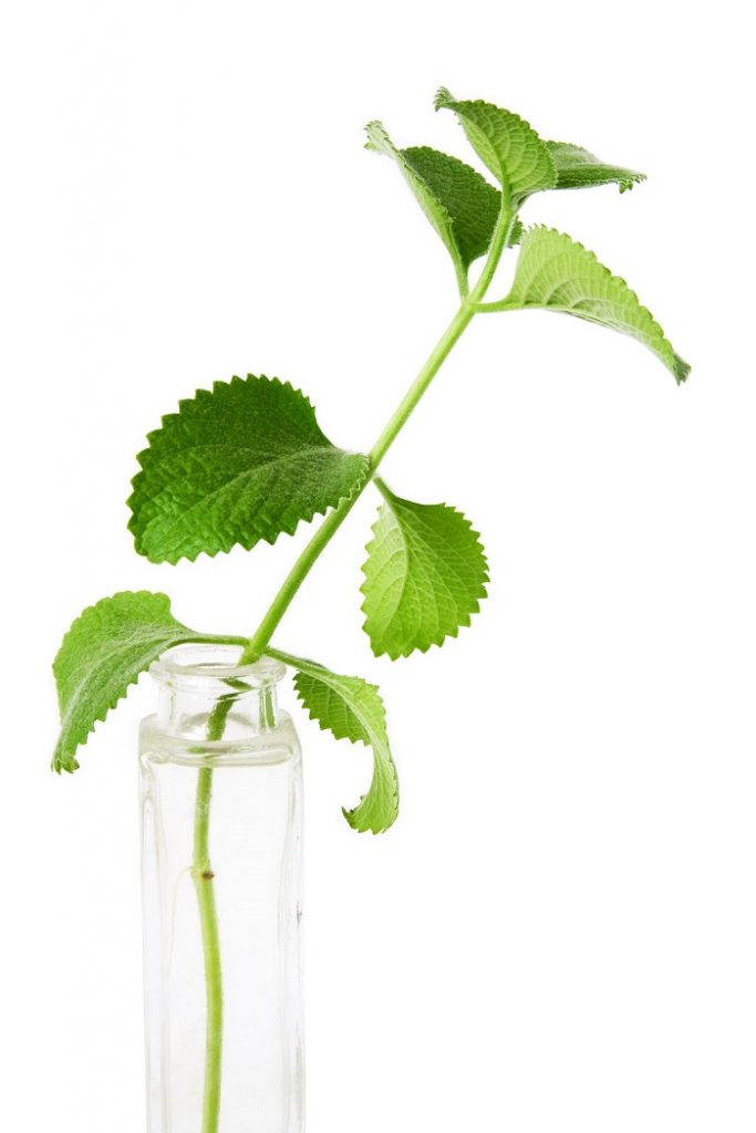 how to grow mint from cuttings in water