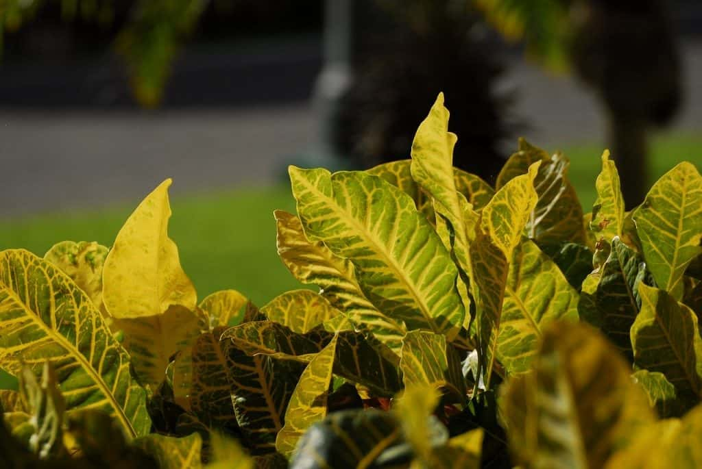 how to maintain croton plant