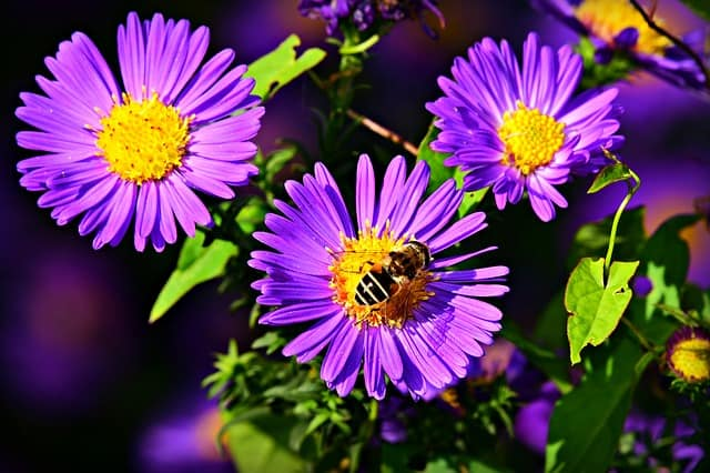 Do Asters grow well in pots