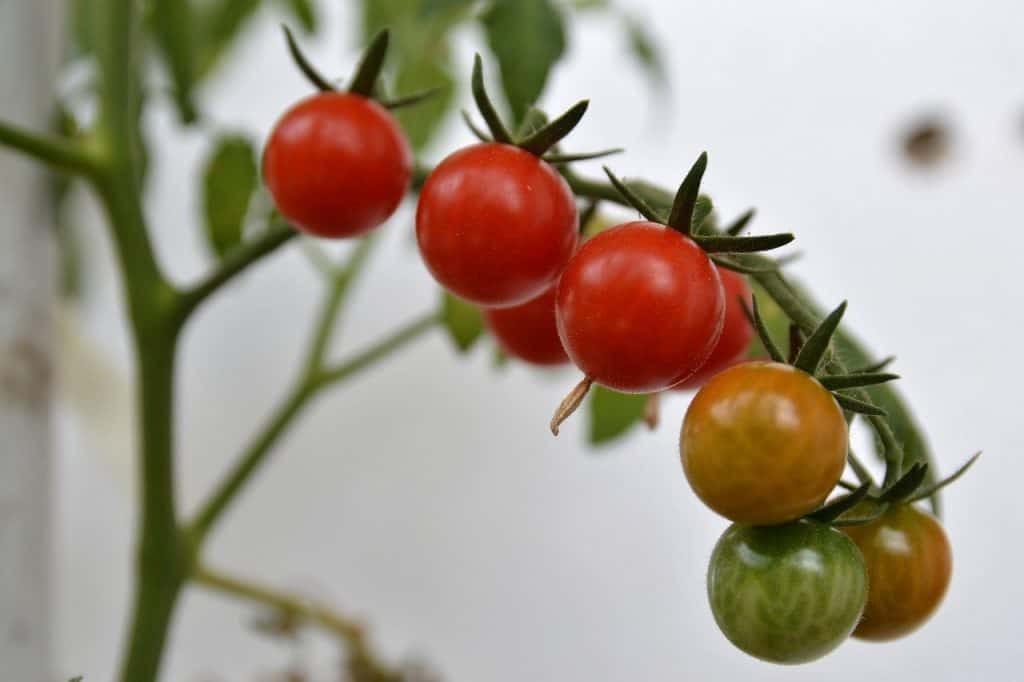 Do Tomatoes grow better in pots or in the Ground