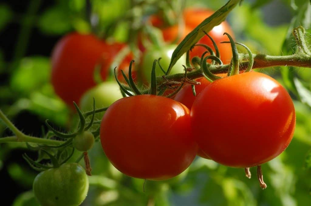 Tips for Taking Care of Tomato Plant