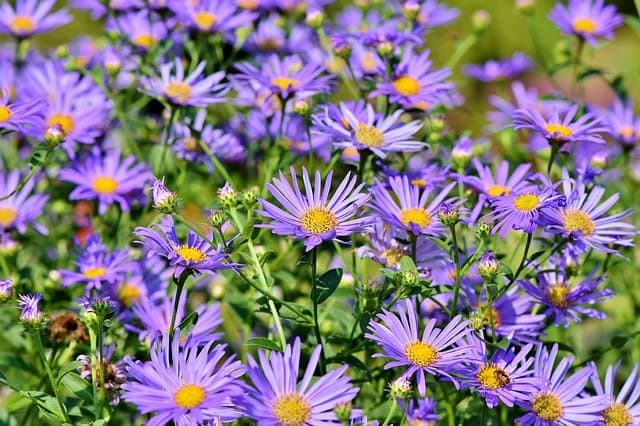 How do you grow and care for Aster flowers