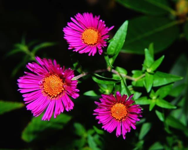 How often should you water asters plants