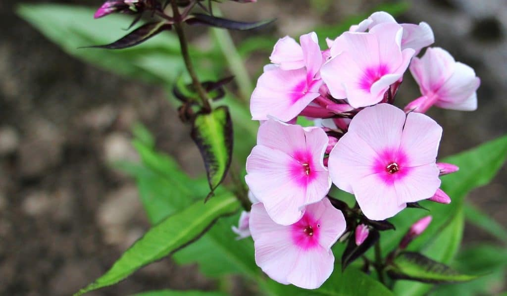 How to care for Phlox plants