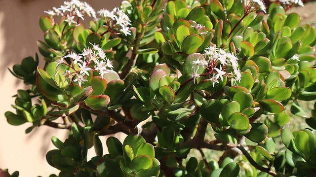 How to plant jade plant