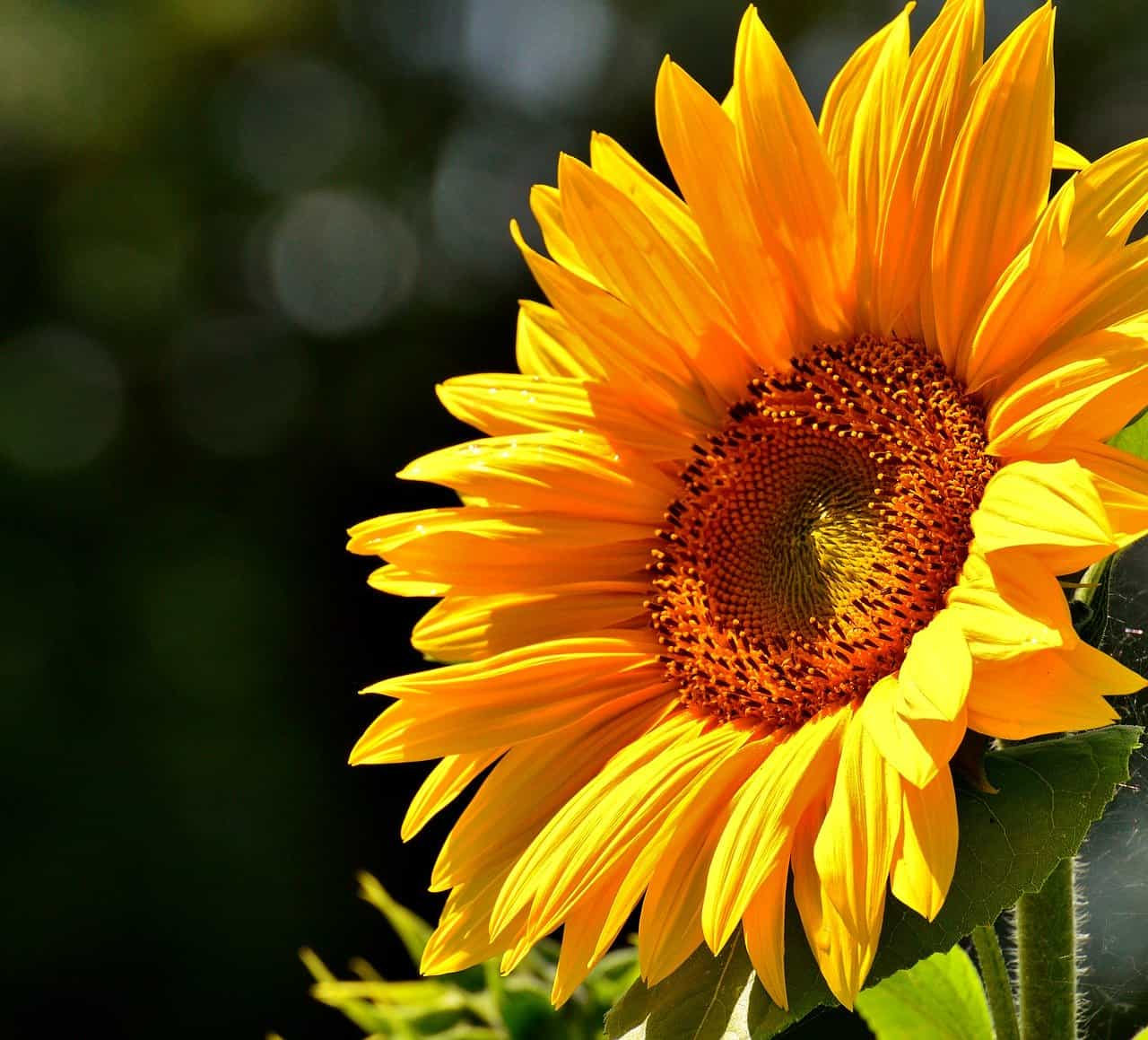 Growing and caring for Sunflowers in a balcony garden