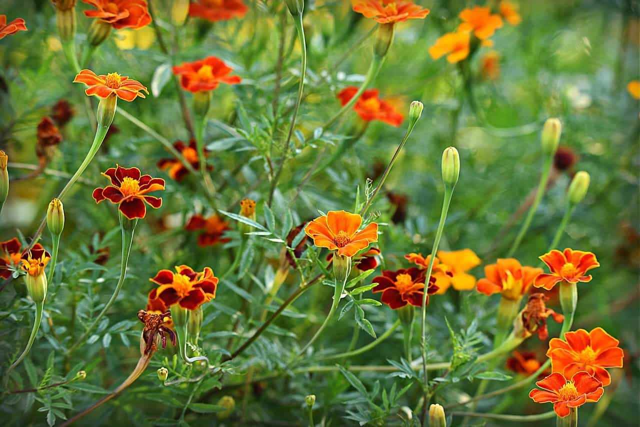 grow and care Marigold plant
