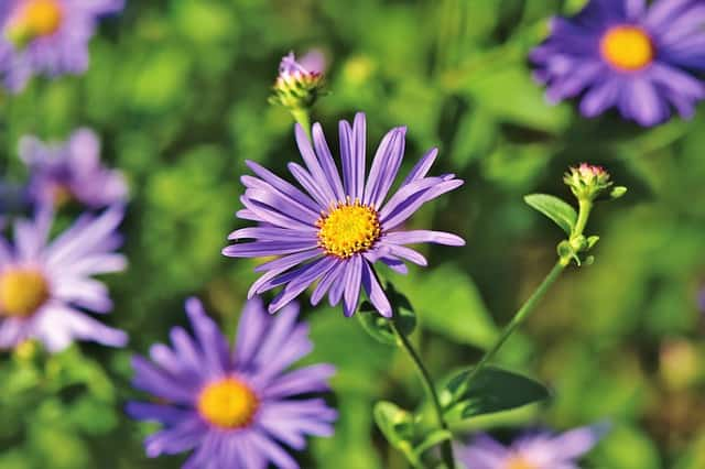What is an Aster Flower