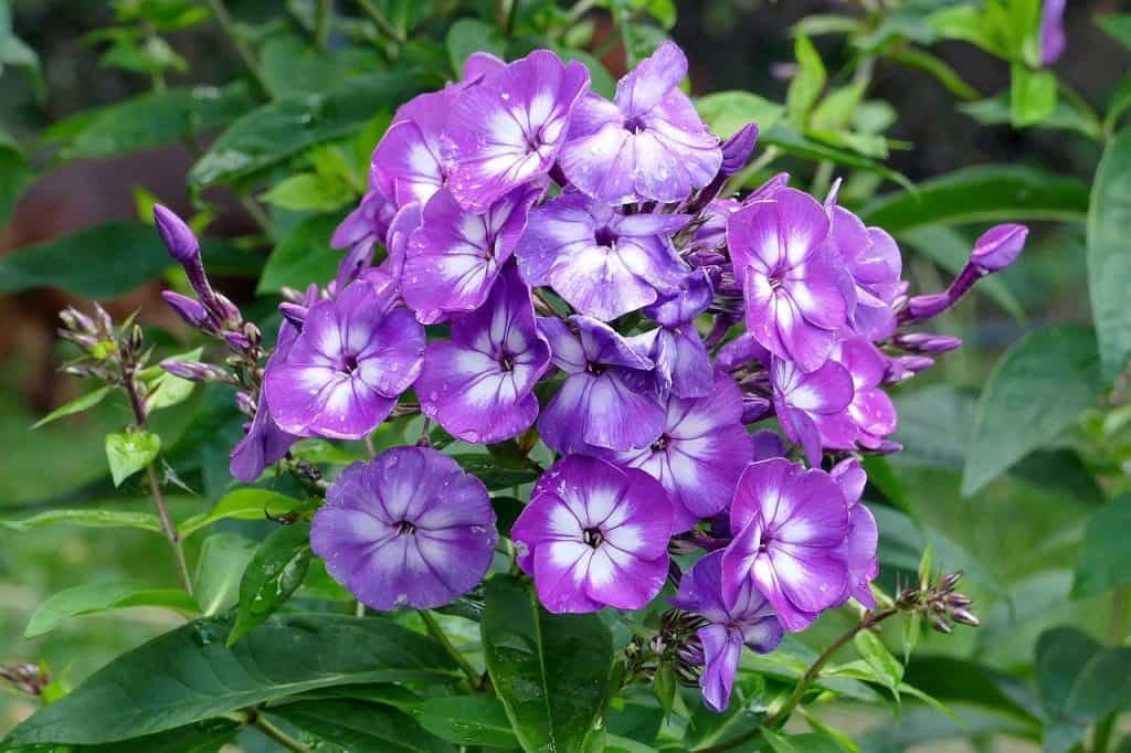 different types of Phlox