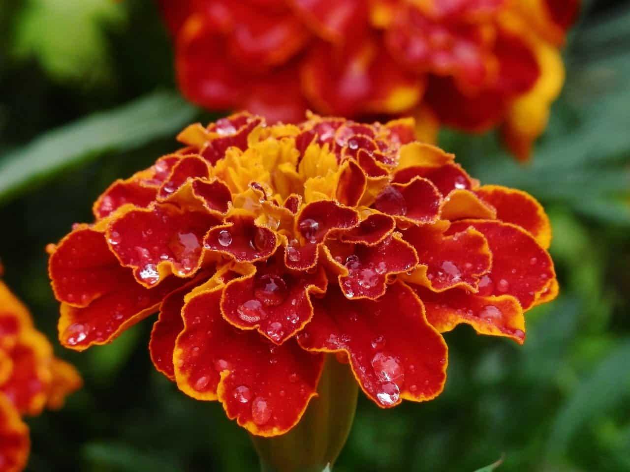 How to grow American Marigolds in garden