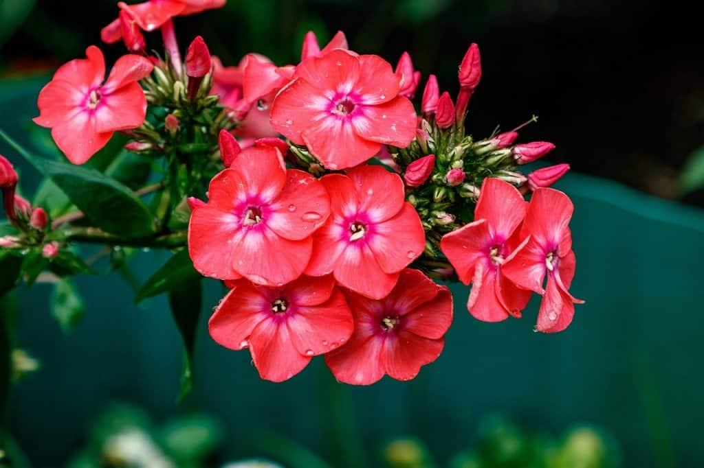 grow and care Phlox flower