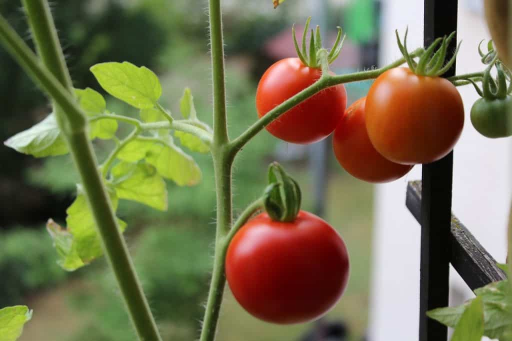how to grow tomatoes in Balcony Garden