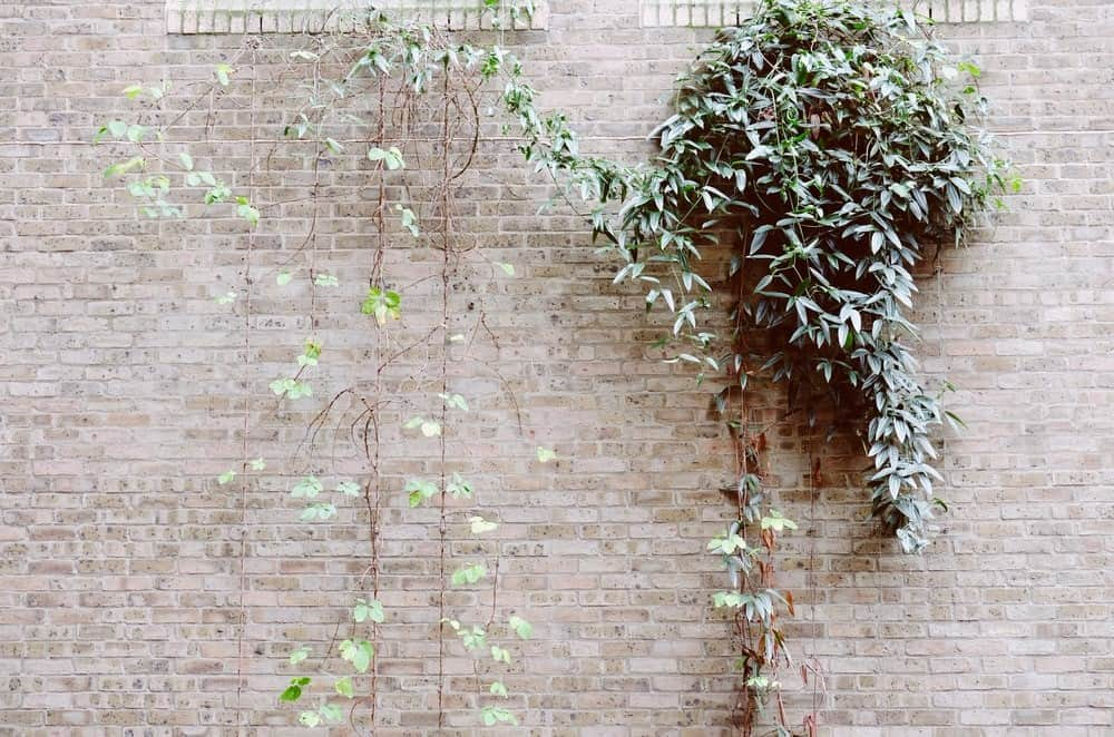 Espalier Plants for Beautiful Small Balcony Gardens