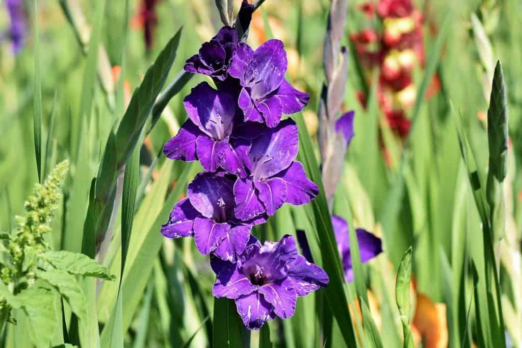 Gladiolus Plant