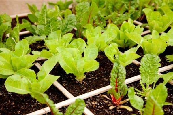 How to do square foot gardening