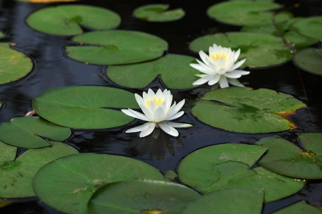 How to grow lotus in garden