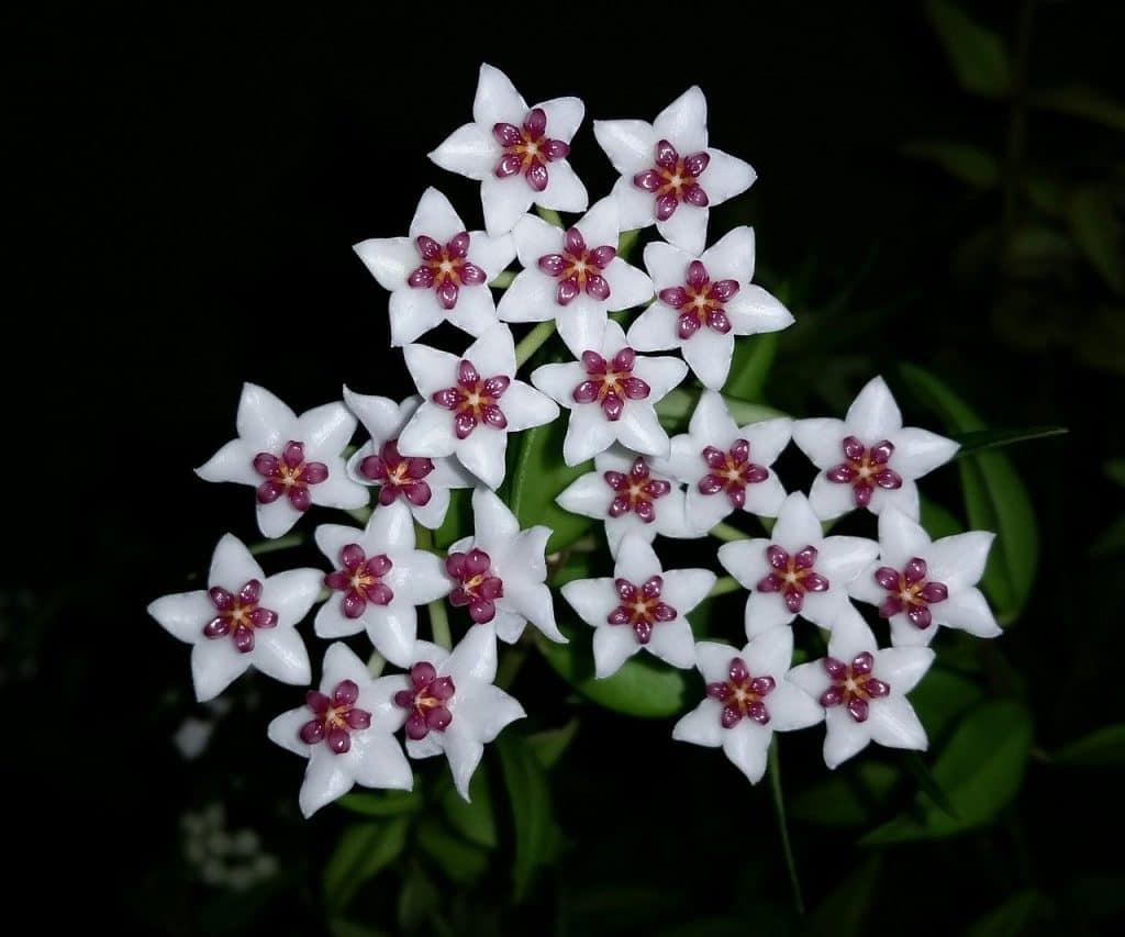 Hoya flower indoor plant