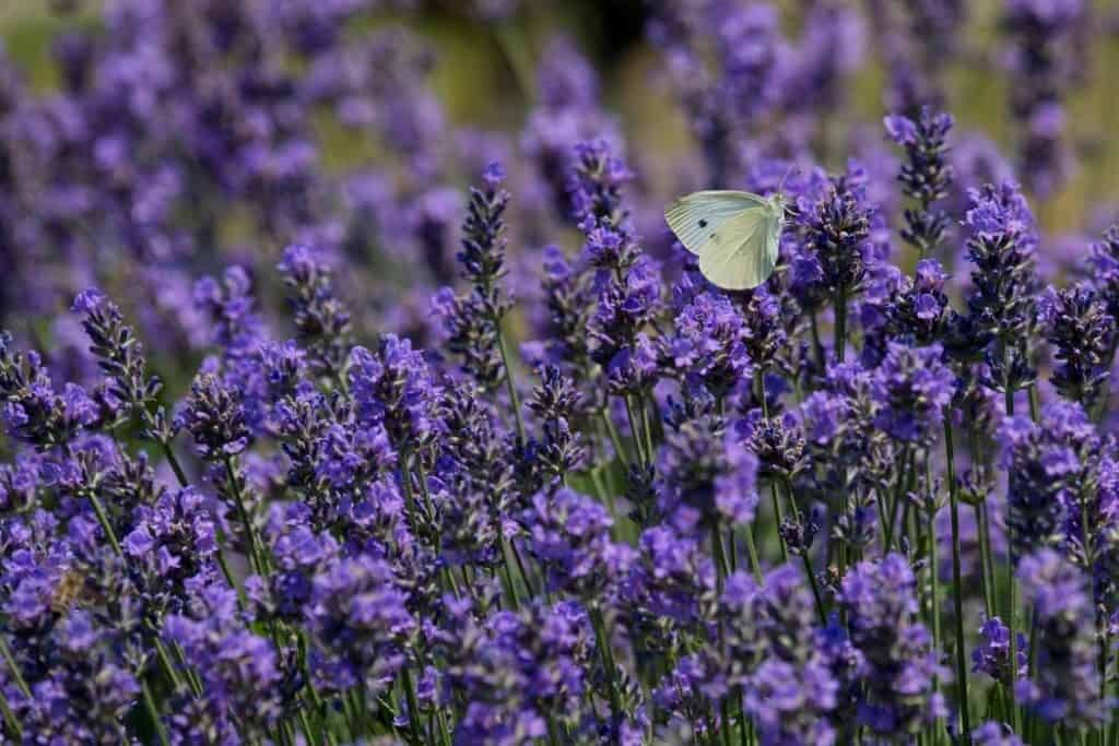 Lavender in full bloom