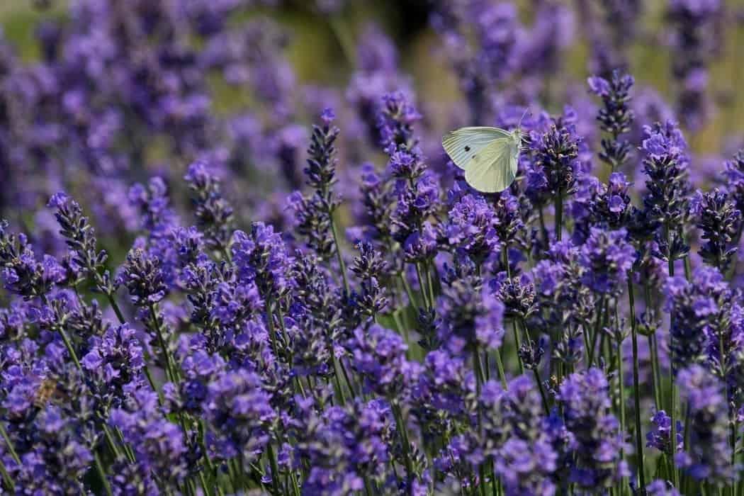 gardening tips lavender